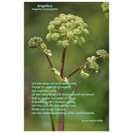 Flower Photo Print - Angelica