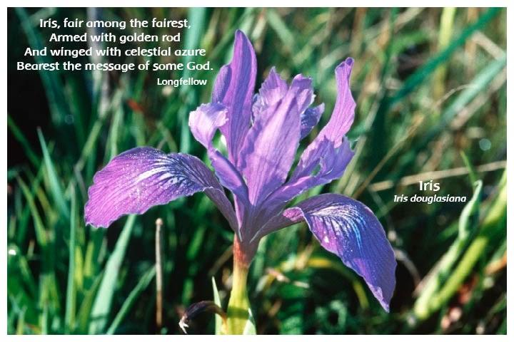 Flower Photo Print - Iris