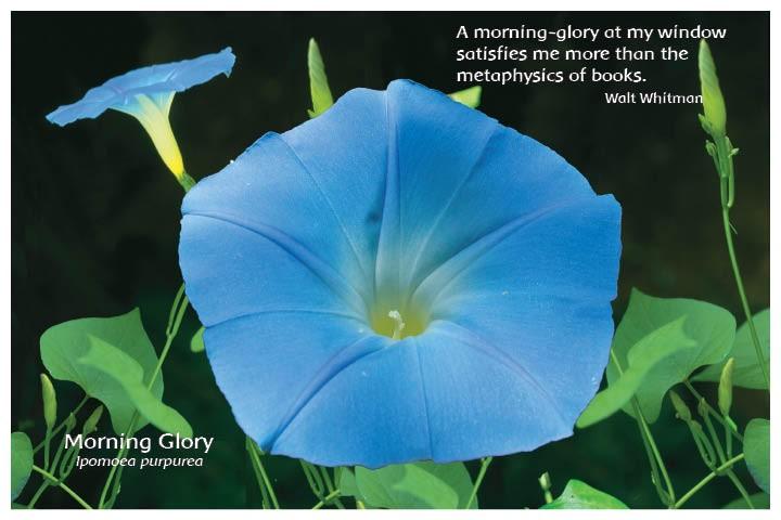 Flower Photo Print - Morning Glory