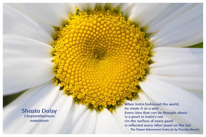 Flower Photo Print - Shasta Daisy