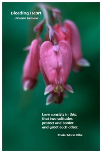 Flower Photo Print - Bleeding Heart
