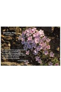Flower Photo Print - Spreading Phlox