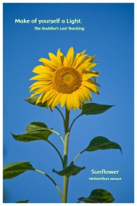 Flower Photo Print - Sunflower