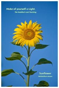Flower Photo Print - Sunflower
