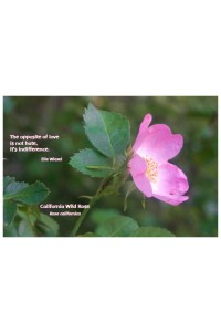 Flower Photo Print - California Wild Rose