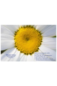 Flower Photo Print - Shasta Daisy