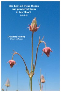 Flower Photo Print - Downy Avens