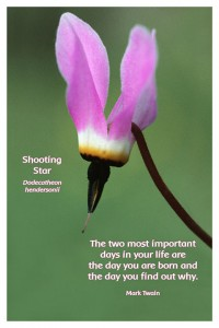 Flower Photo Print - Shooting Star