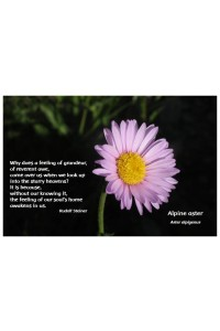 Flower Photo Print - Alpine Aster