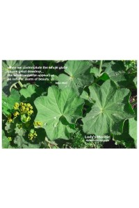 Flower Photo Print - Lady's Mantle