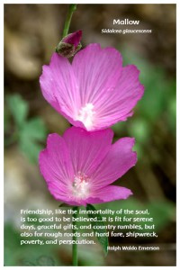 Flower Photo Print - Mallow